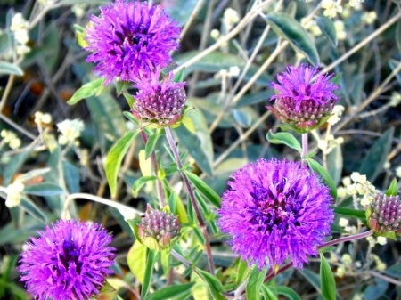 North Etiwanda Purple flowers