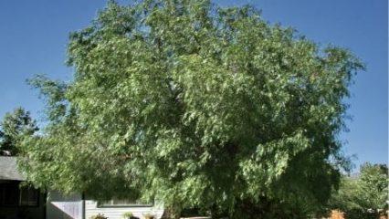 January 2021 California Pepper Tree