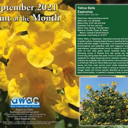 September 2021 Yellow Bells Esperanza